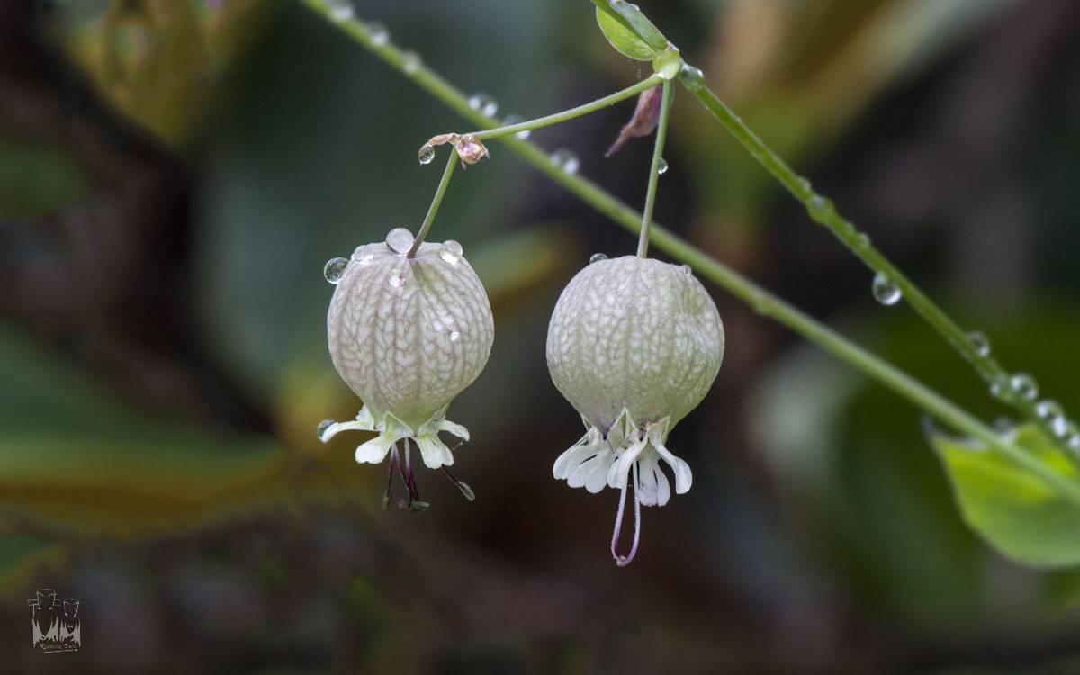 bladder campion-Silene vulgaris