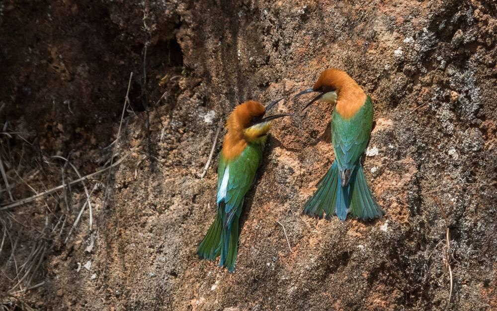 chestnut headed bee eaters, Birding, Chinnakallar