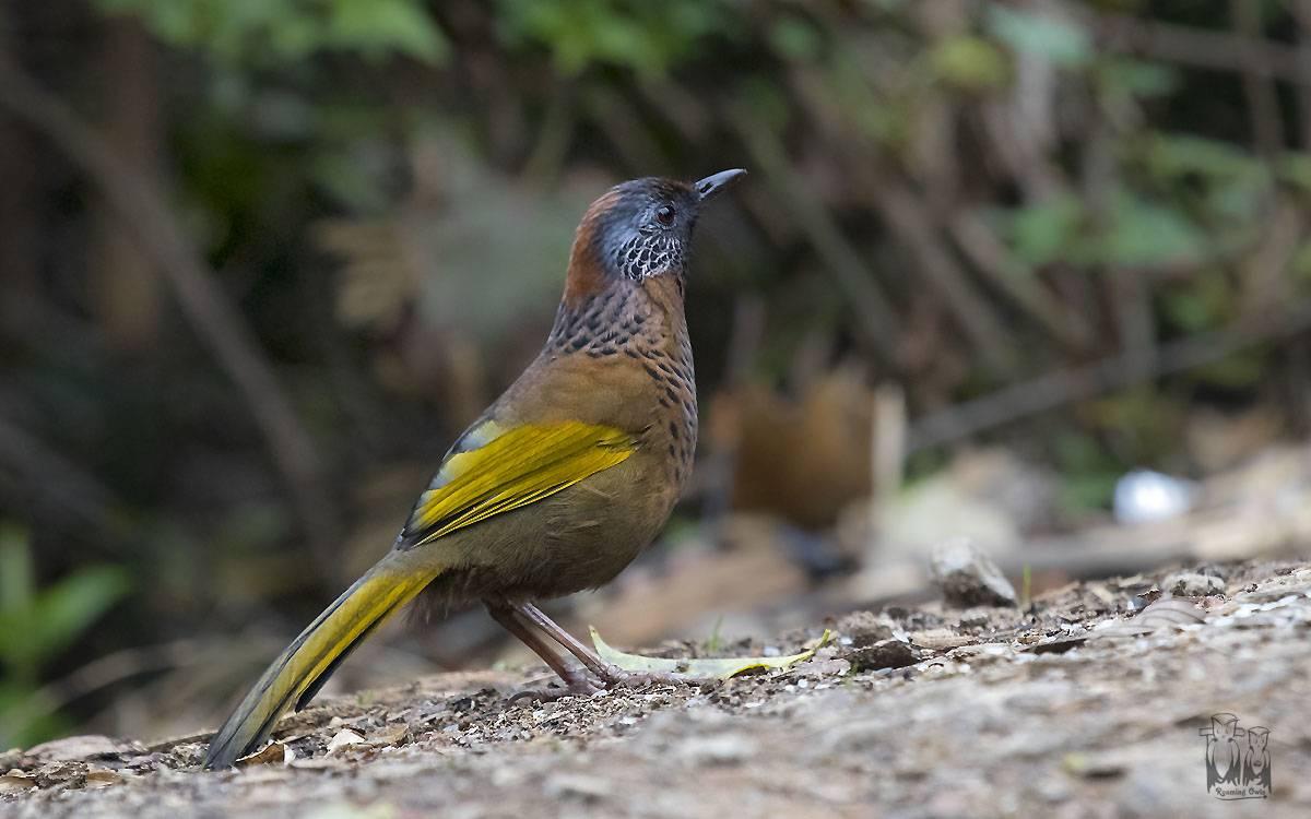 chestnut sided laughing thrush, birding, neora valley, himalayas