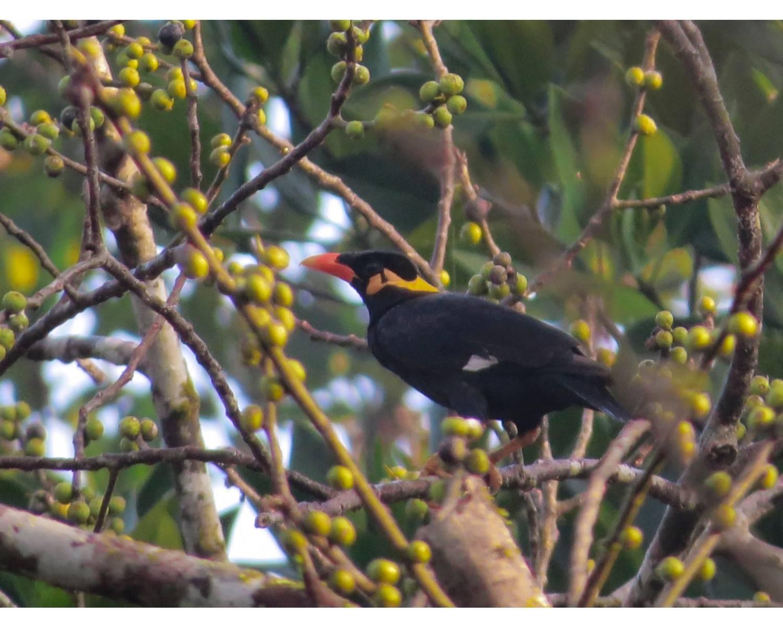 chidiya tappu,andaman birding,hill myna,Gracula religiosa