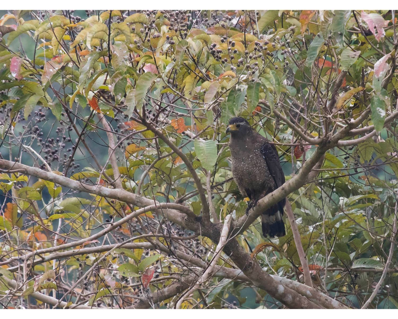 அந்தமான் செர்பென்ட கழுகு (Andaman Serpent Eagle),Spilornis elgini,near threatened eagle,andaman birding,endemic birding,andaman endemic birds,chidiya tappu