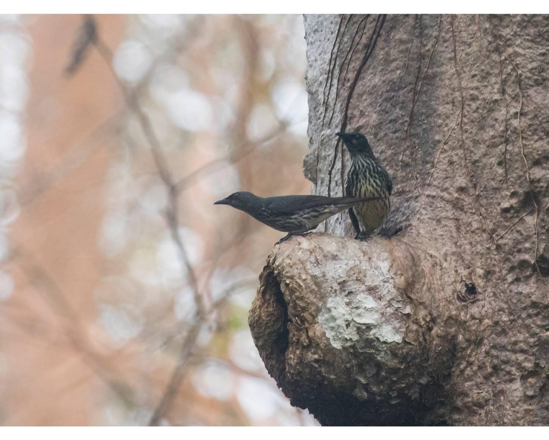 Aplonis panayensis,Asian glossy starling,chidiya tappu birding,andaman birding