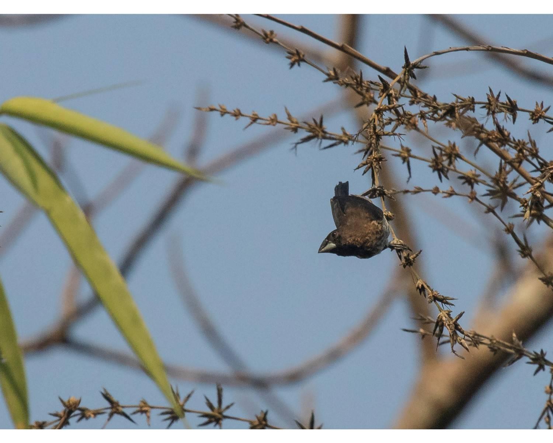 Lonchura striata,வெள்ளை ரம்ப்ட் முனியா(White Rumped Munia) ,chidiya tappu birding,andaman birding
