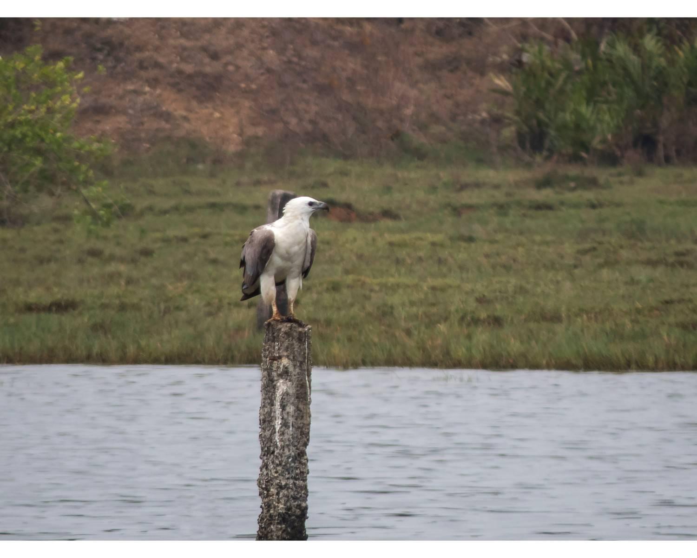 வெள்ளை வயிற்று கடல் கழுகு (White Bellied Sea Eagle),Andaman birding,roadside birding,chidiya tappu