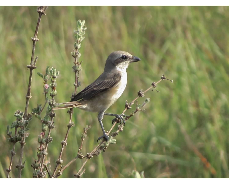 Brown shrike,Lanius cristatus,chidiya tappu,andaman birding