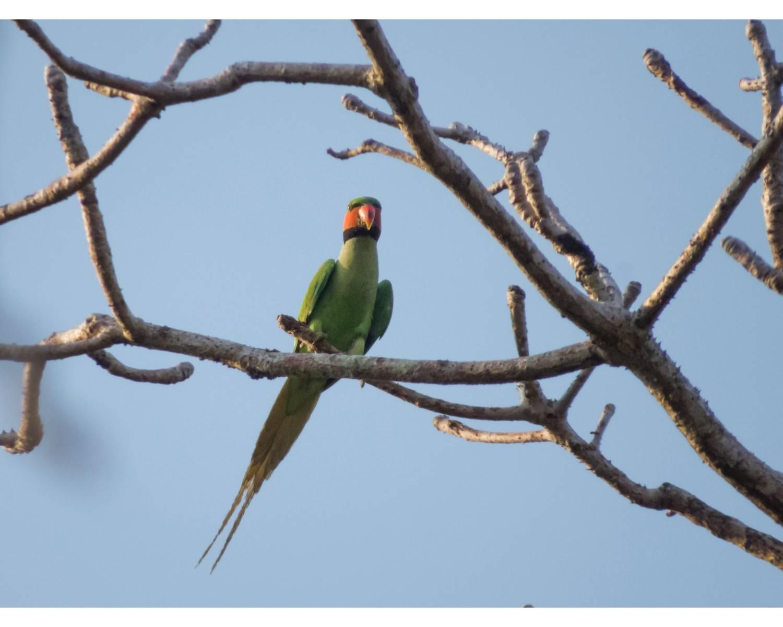 நீல வால் கிளி (Long tailed parakeet),Psittacula longicauda,chidiya tappu birding,andaman endemic birds