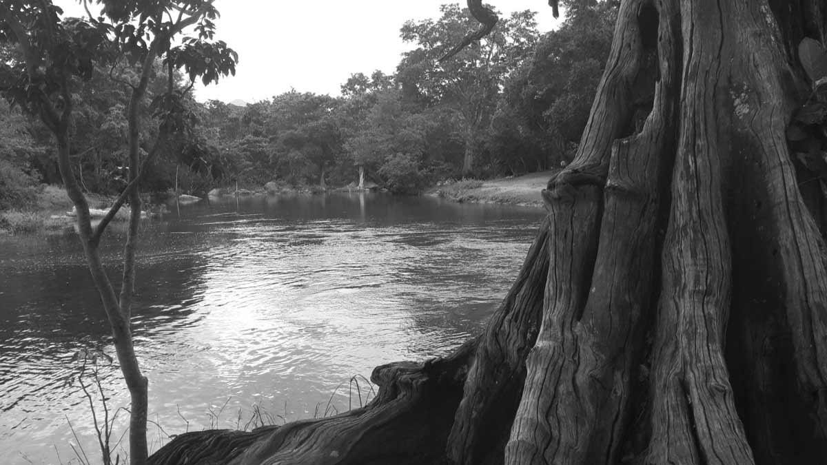 Terminalia arjuna,neer marudhu,buttress tree