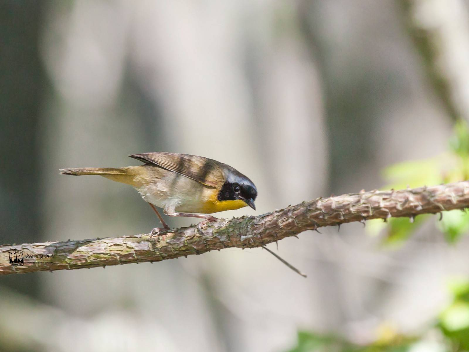 Common yellow throat, Geothlypis trichas , warbller