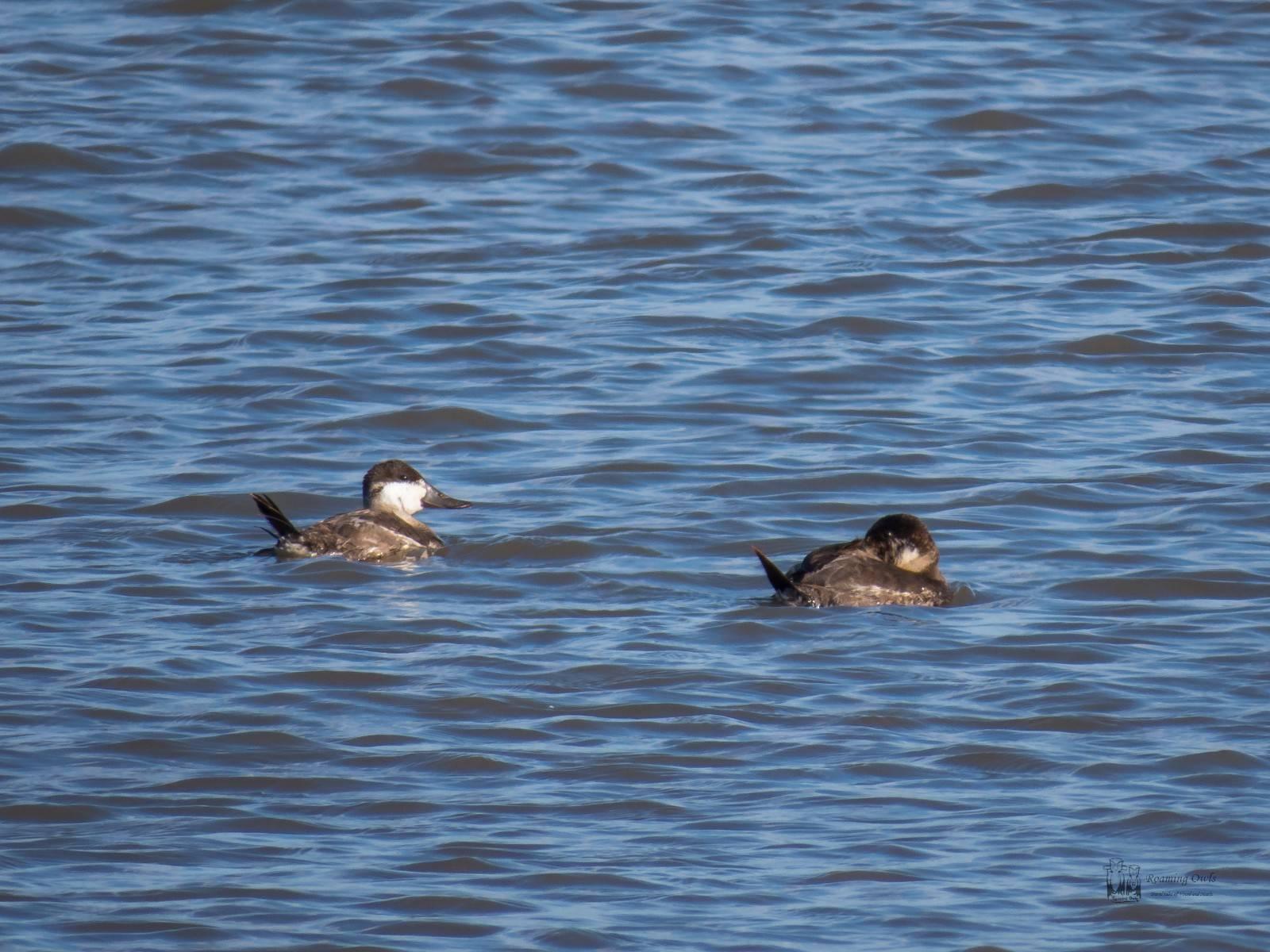 Delaware, ruddy duck