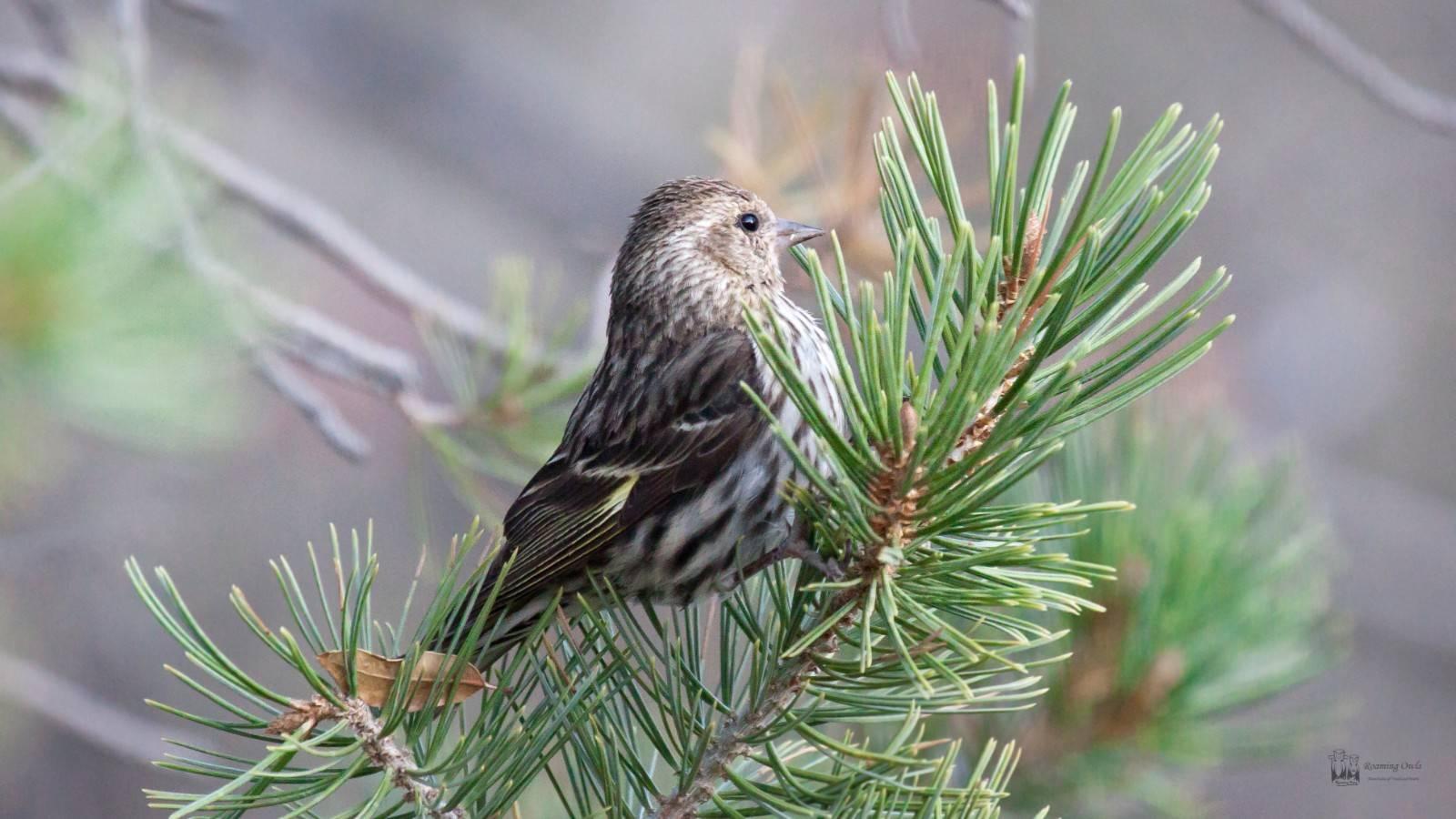 Cassin's sparrow , Peucaea cassinii