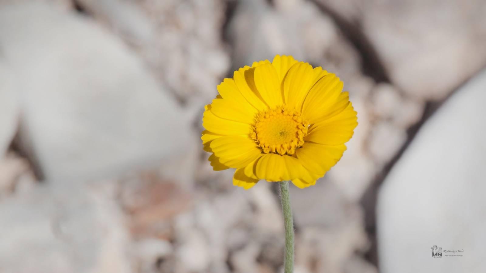Desert Marigold , Baileya multiradiata