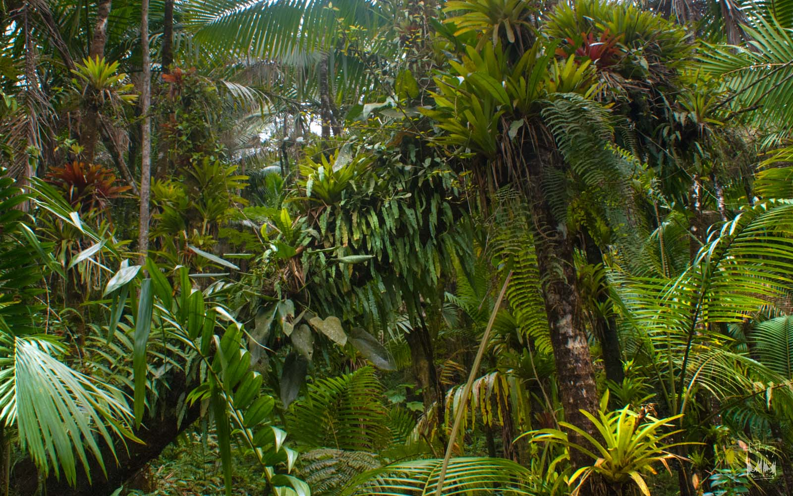 el yunque epiphytes