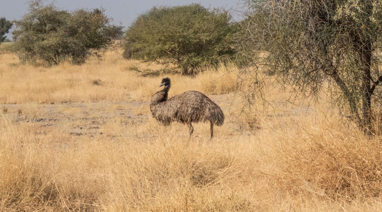 Emu, jaisalmer, fossil park