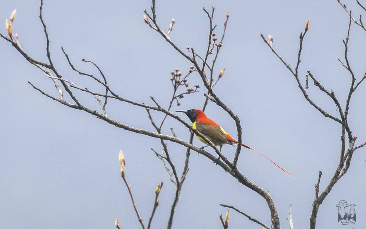 Aethopyga ignicauda,Fire tailed sunbird,yumthang valley birding,indian colorful birds