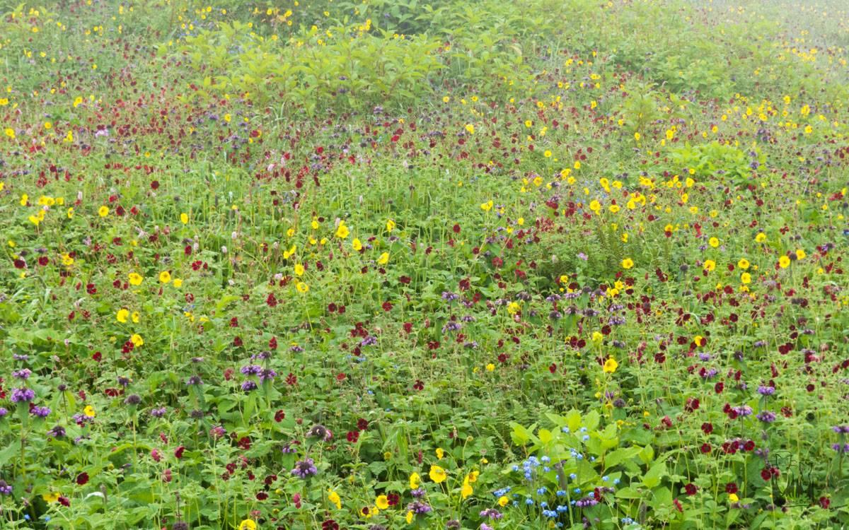 Dhela, wildflowers, himalayas , cinquefoil