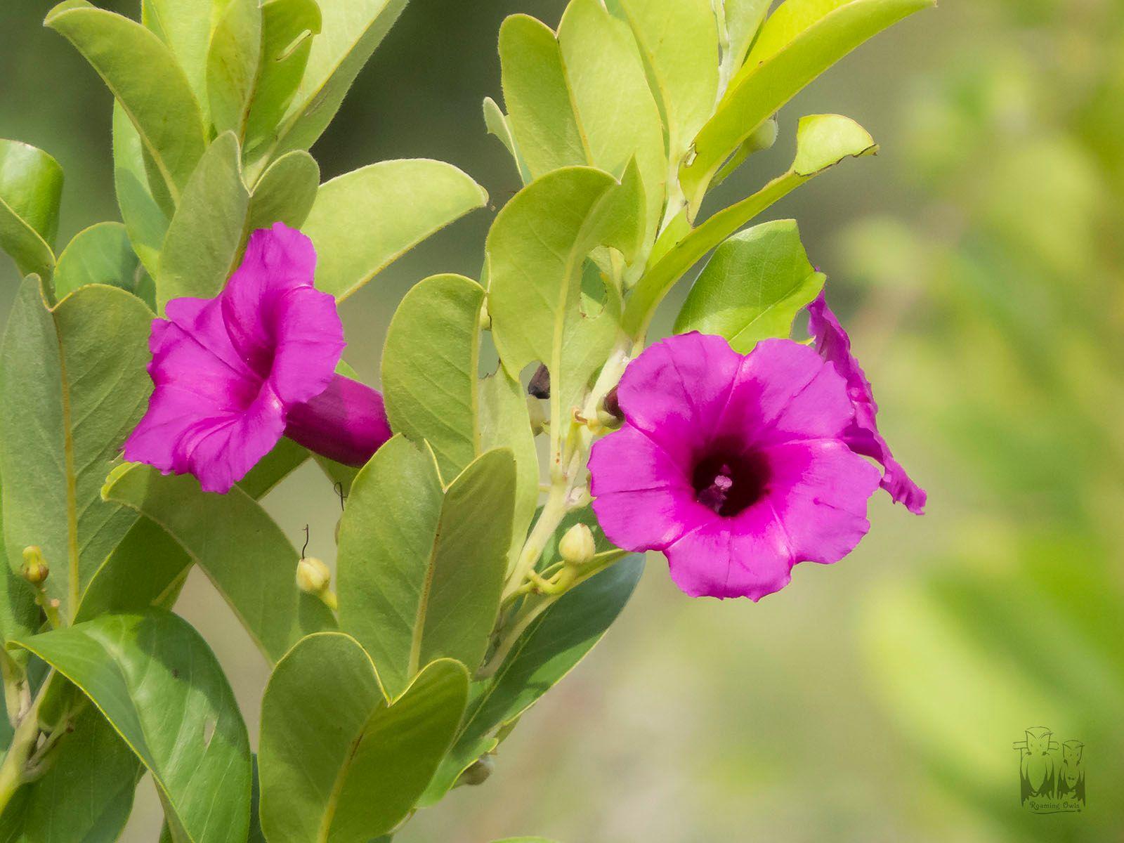 மைசூர் அர்கிரியா,Mysore Argyreia,Mysore wildflower,karnataka flora