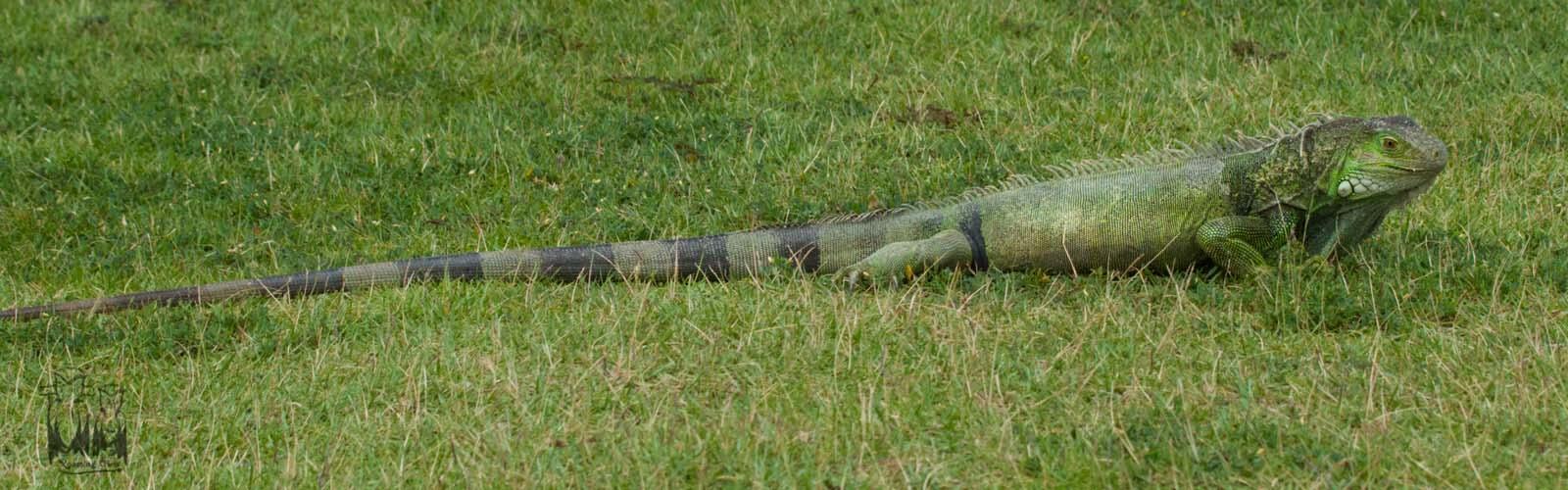 Iguana iguana,Green Iguana,Puertorico iguana fortress