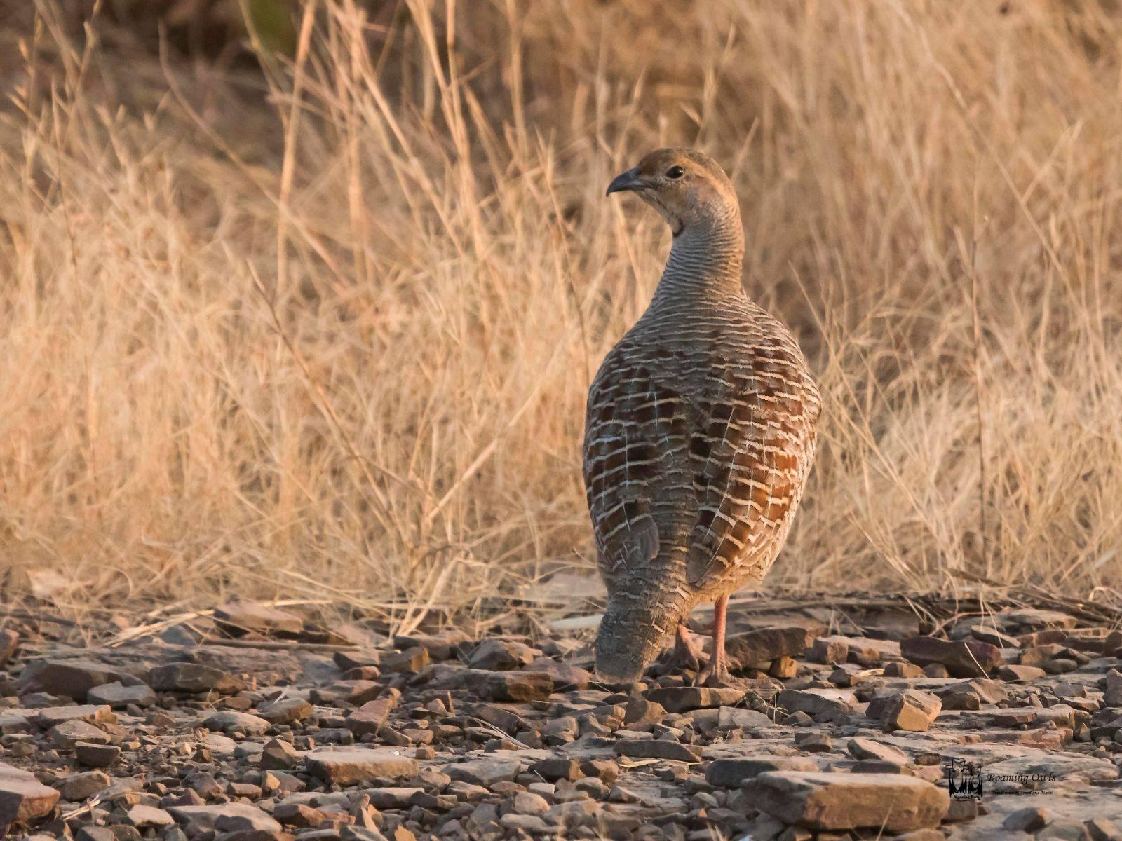 Grey Francolin,Ranthampore Birding,Desert Dry birds,Indian Birds