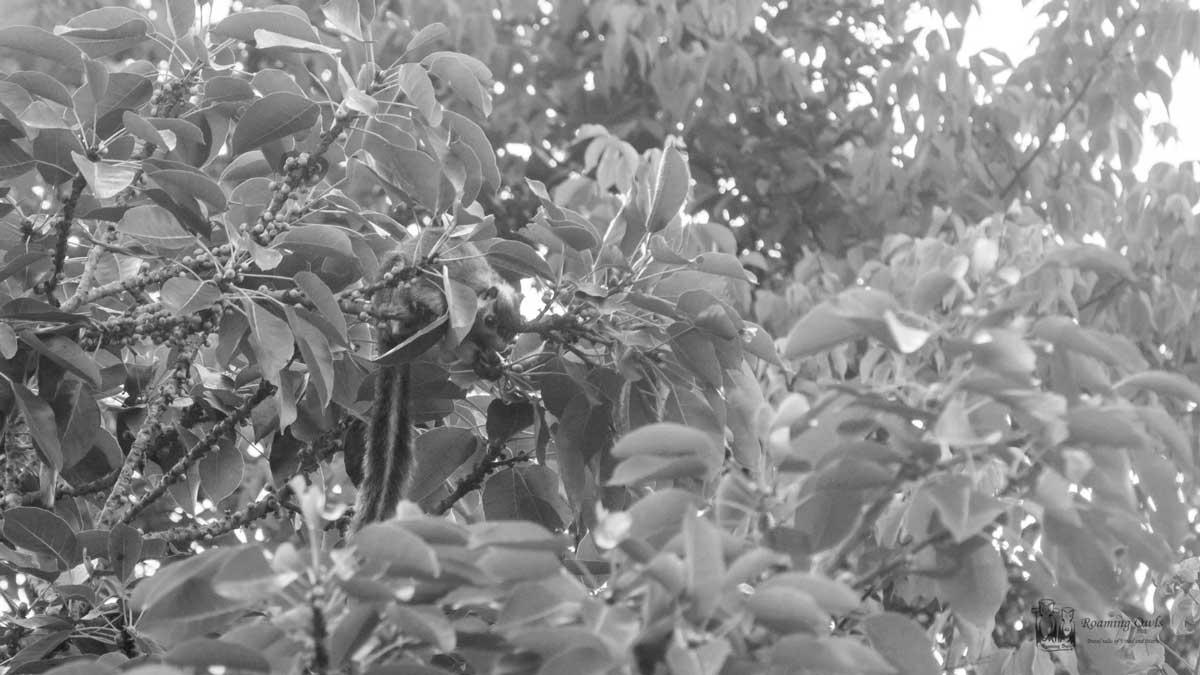 Grizzled Squirrel,Ratufa macroura,Chinnar wildlife sanctuary,chinnar animals