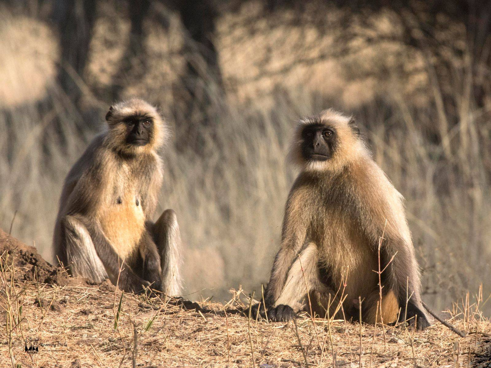 Hanuman Langur India,Ranthampore National Park zone6,Ranthampur Mammals,Indian Monkey Mammals