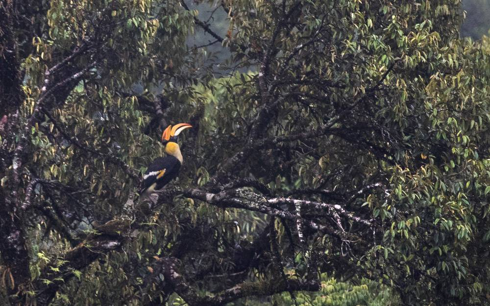 Great Indian Hornbill , Chinnakallar , birding
