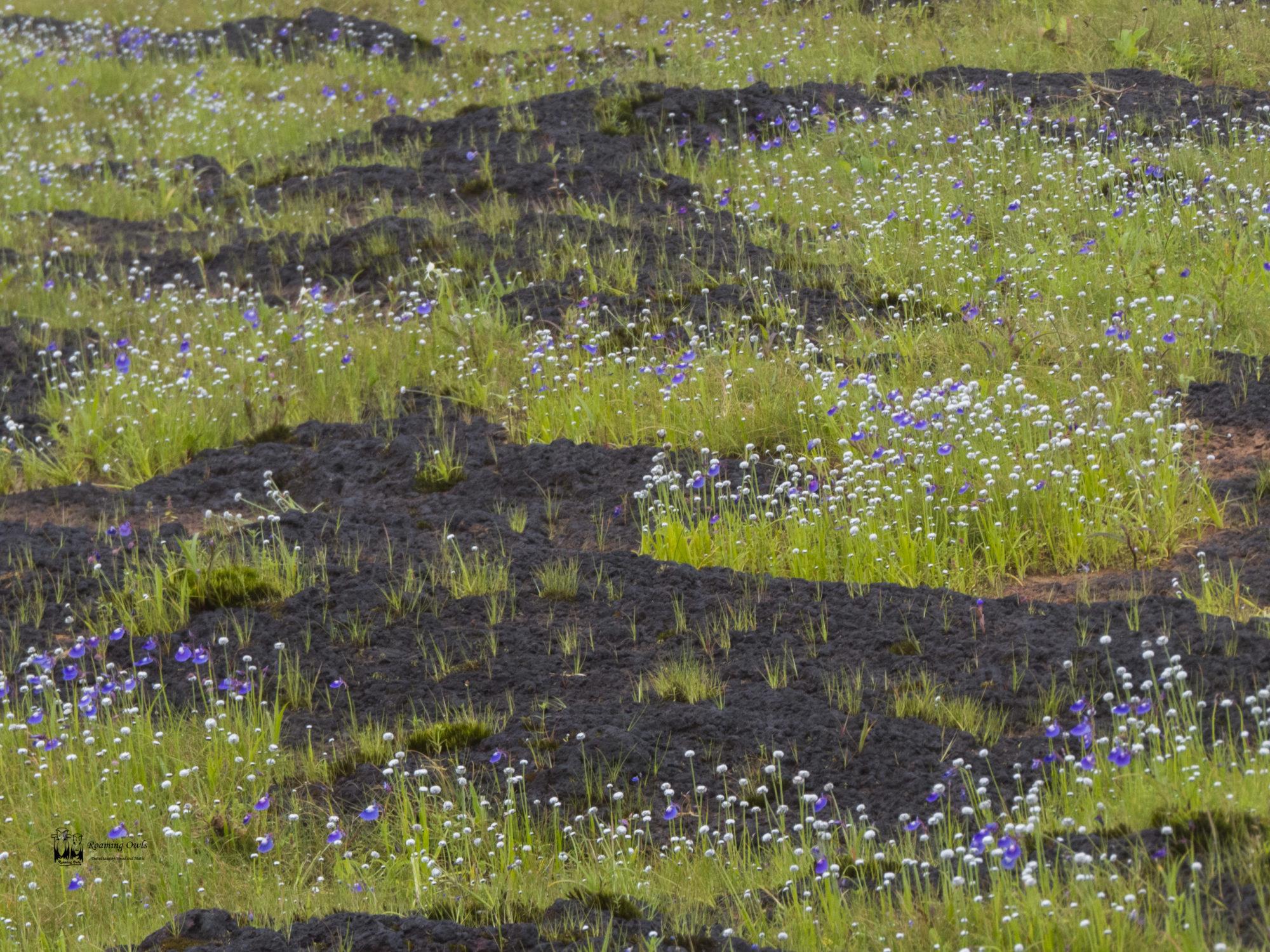 Utricularia arcuata, Eriocaulon,pipewort,kaas