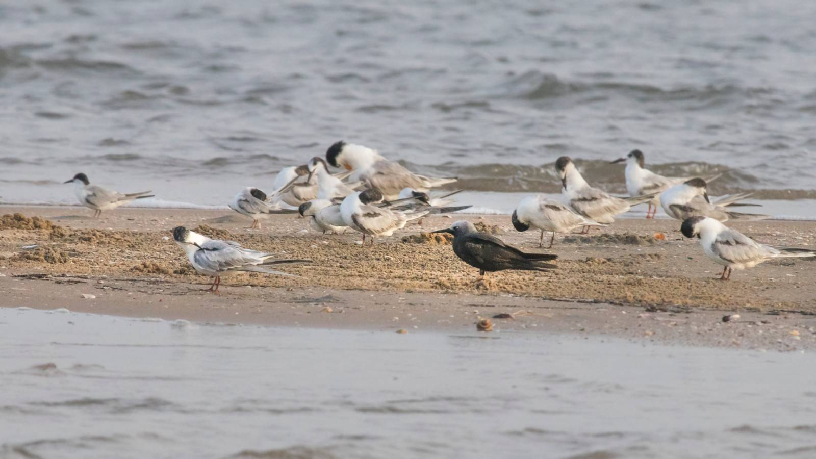 Lesser Noddy Greater Crested Tern Little Tern Pulicat Lake Boating Birding Caspian Tern