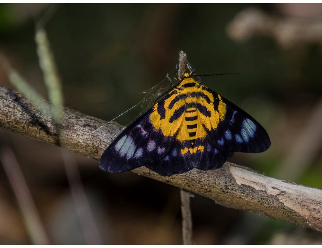 பால்ஸ் டைகர் மாத் False Tiger Moth - Dysphania militaris, adaman moth,mount harriet butterfly moth