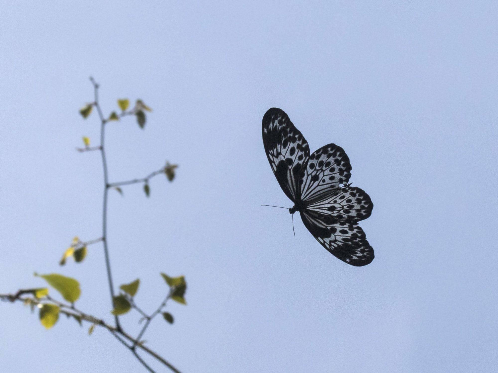 Myanmar Tree-Nymph(Idea agamarschana) ,andaman butterflies,mount harriet butterflies