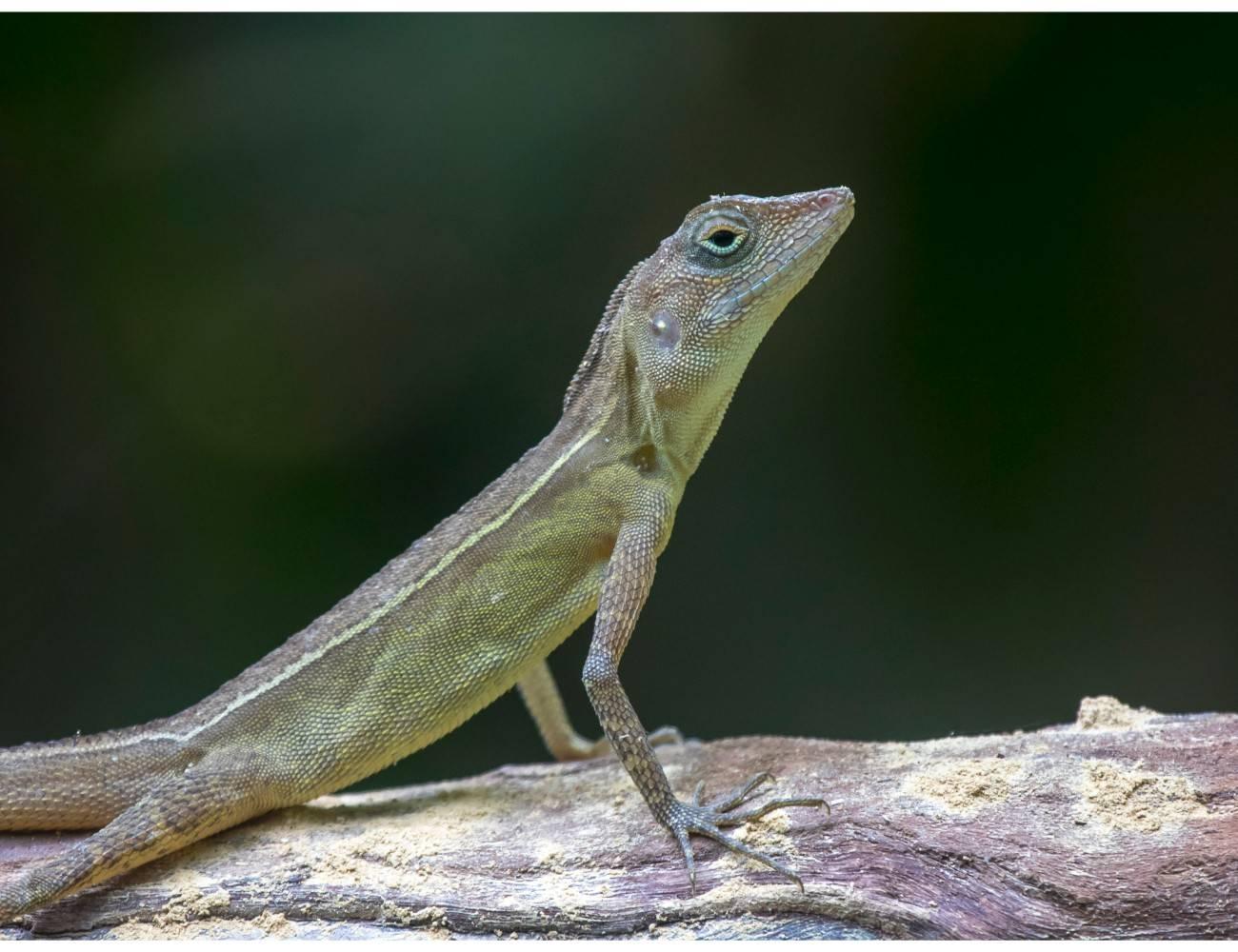 Coryphophylax subcristatus, Bay Islands Forest Lizard,Andaman Lizard,Mount harriet lizard