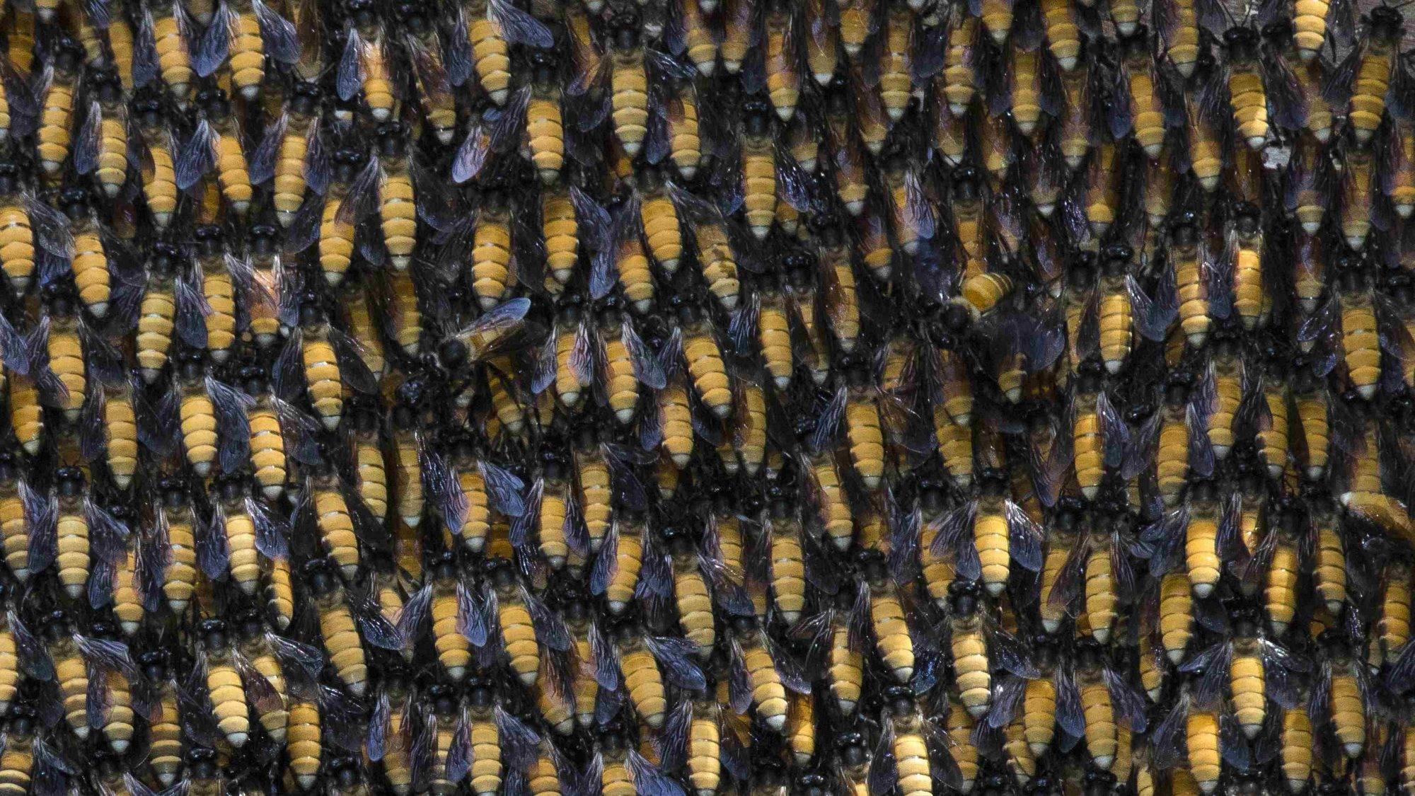 honey bees,andaman bees,mount harriet nature