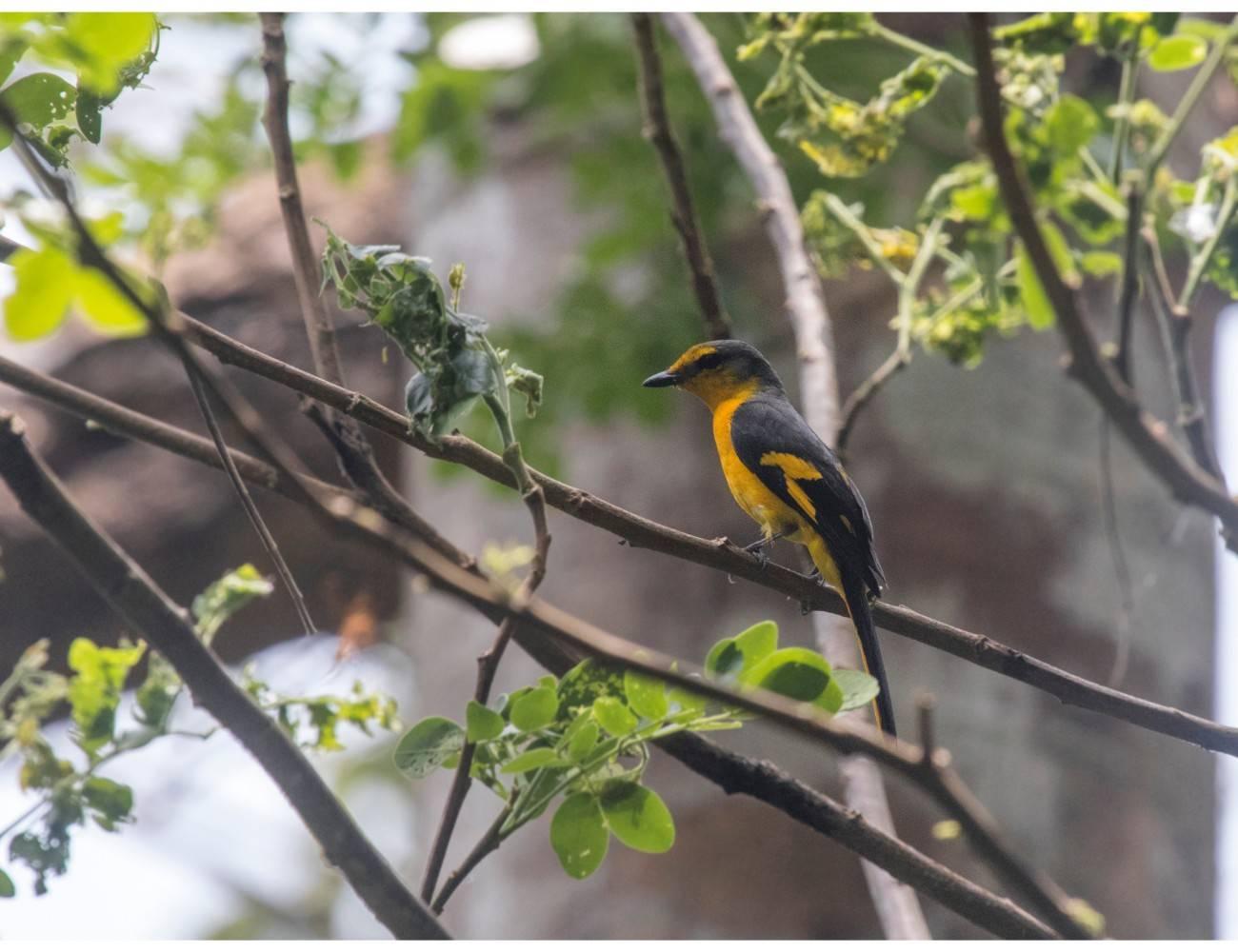 Andaman minivet male,Pericrocotus speciosus,mount harriet birding,andaman birding