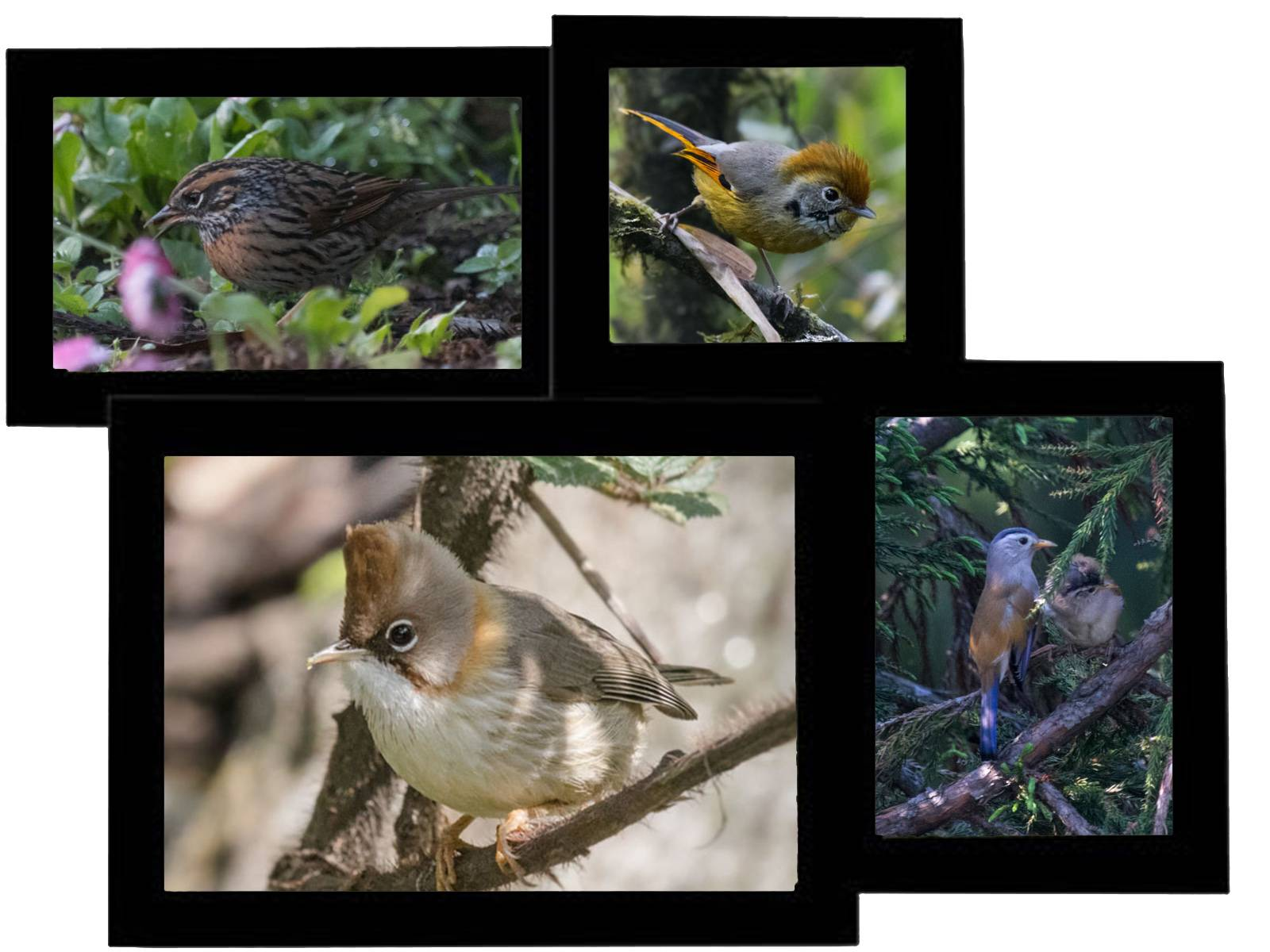 Brown accentor, bar throated siva, yuhina, and blue tailed minla, Neora valley , Birding