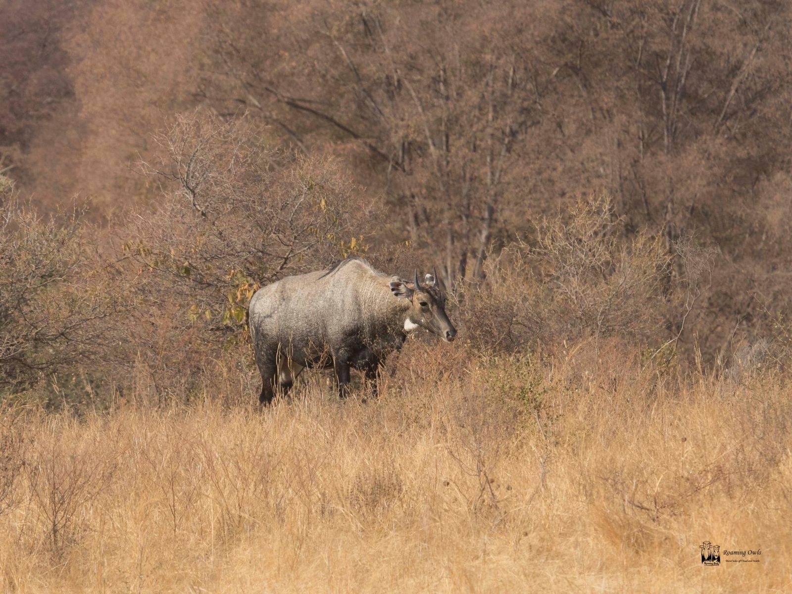 NIlgai Ranthampur,Blue Bull Ranthampur,Boselaphus tragocamelus india,Indian Mammals