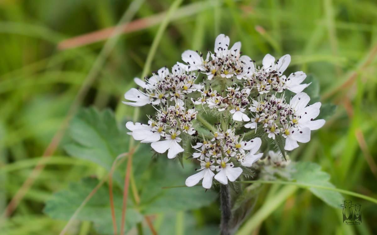 apiaceae , dhela, wildflower, himalayas