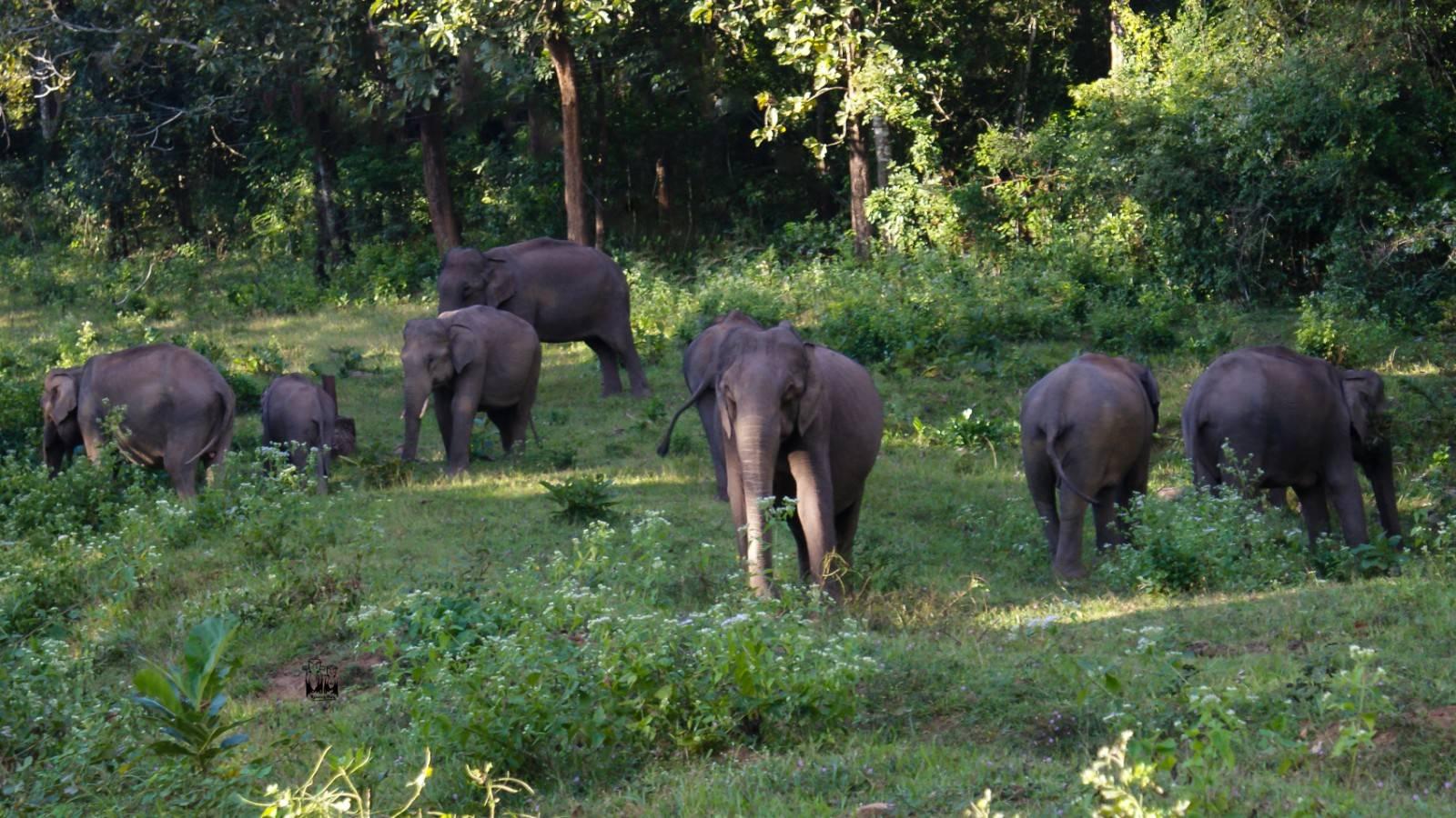 Elephant group,parambikulam wildlife sanctuary