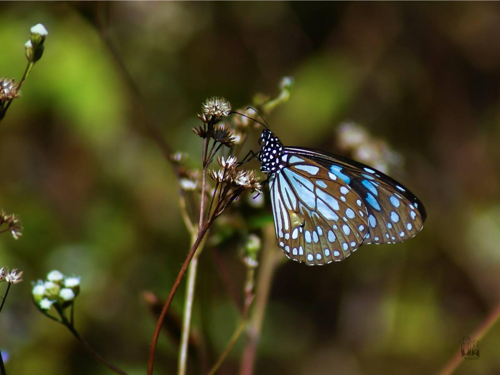 Tirumala limniace,Blue Tiger,karimala trek,parambikulam tiger reserve,goat weed,Epimedium