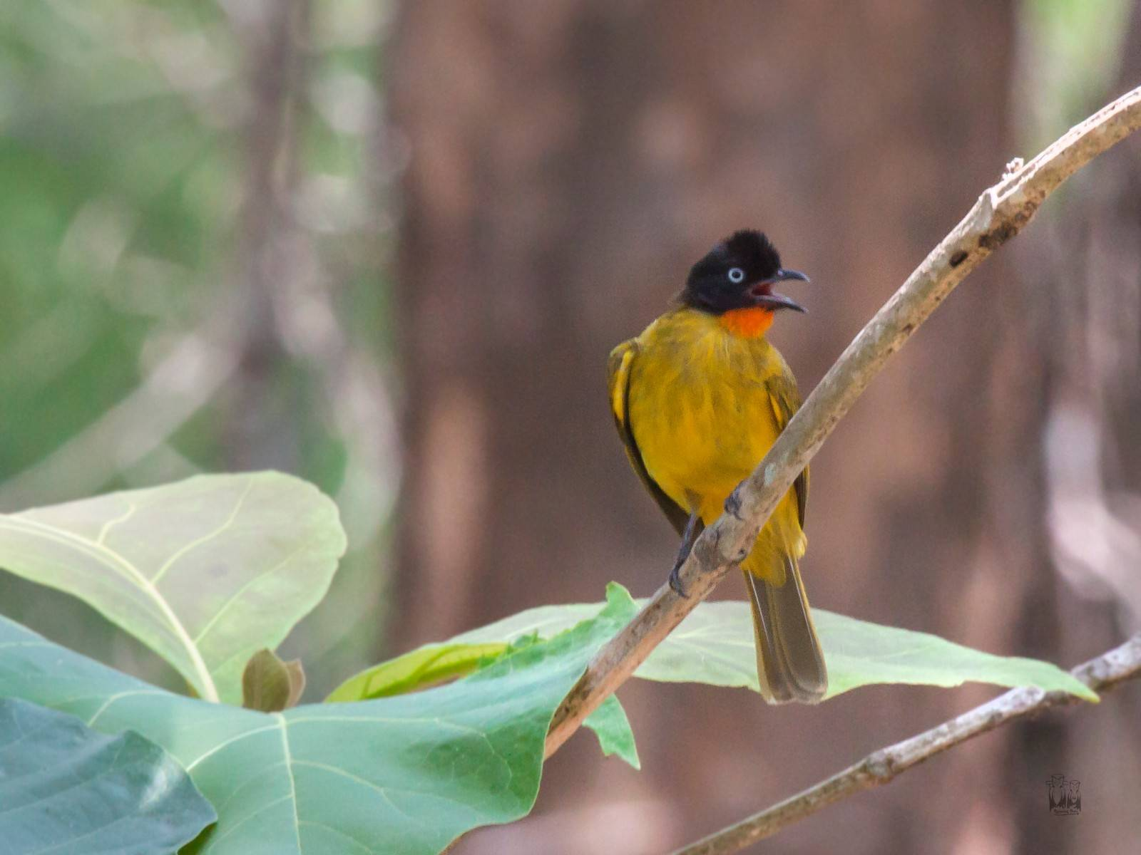 Flame throated bulbul,karimala trek,parambikulam tiger reserve, Pycnonotus gularis,western ghats