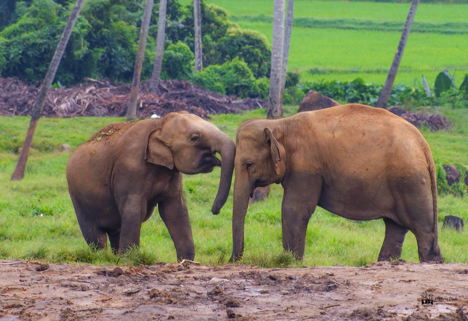 Pinnawala elephant orphanage, srilanka,rain,elephants