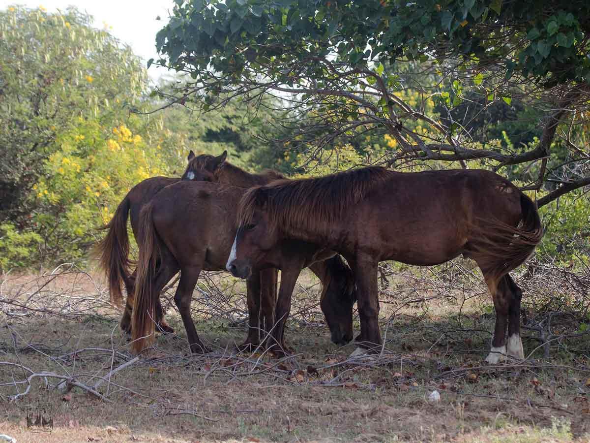 Point calimere feral pony,point calimere wildlife,kodiyakarai