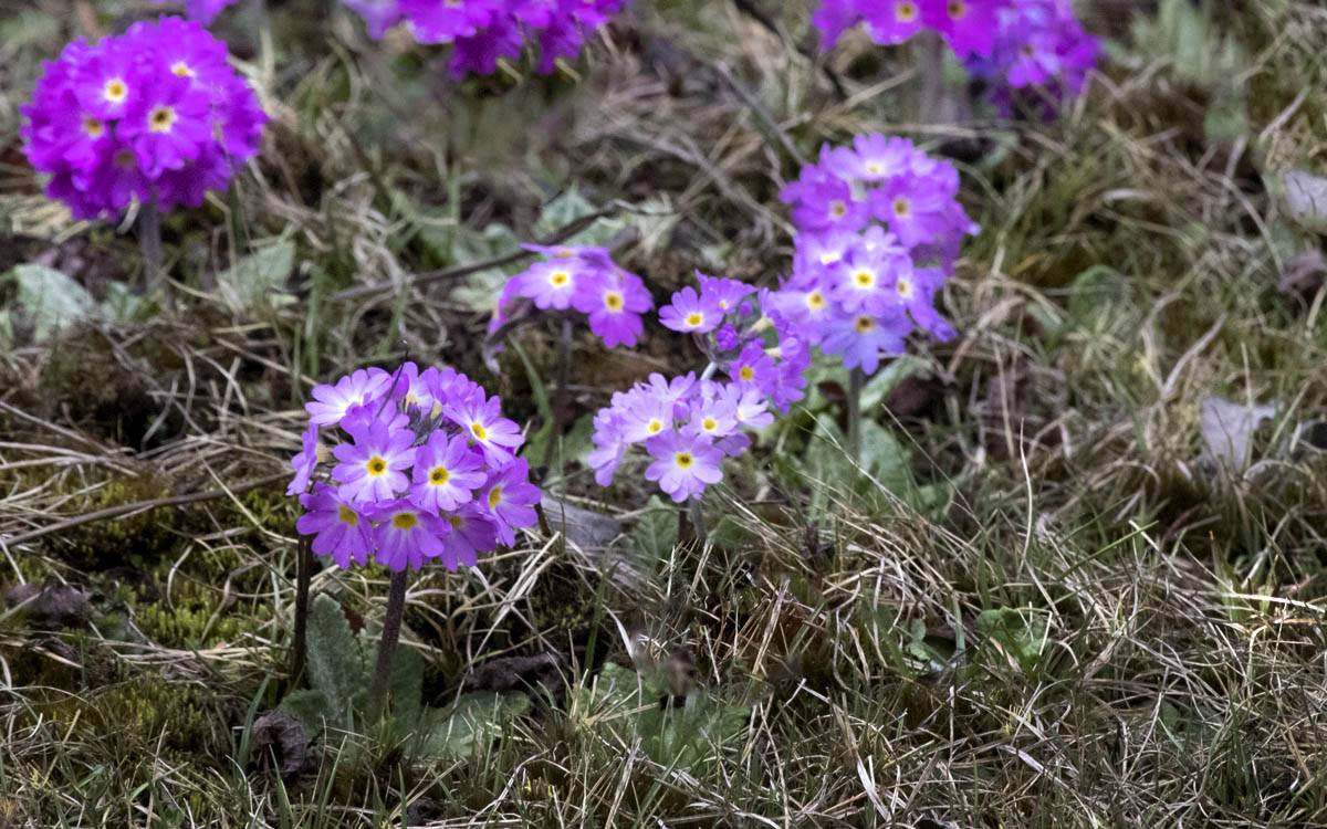 Primula denticulata - Drumstick Primrose,yumthang valley flowers,india wildflowers primula