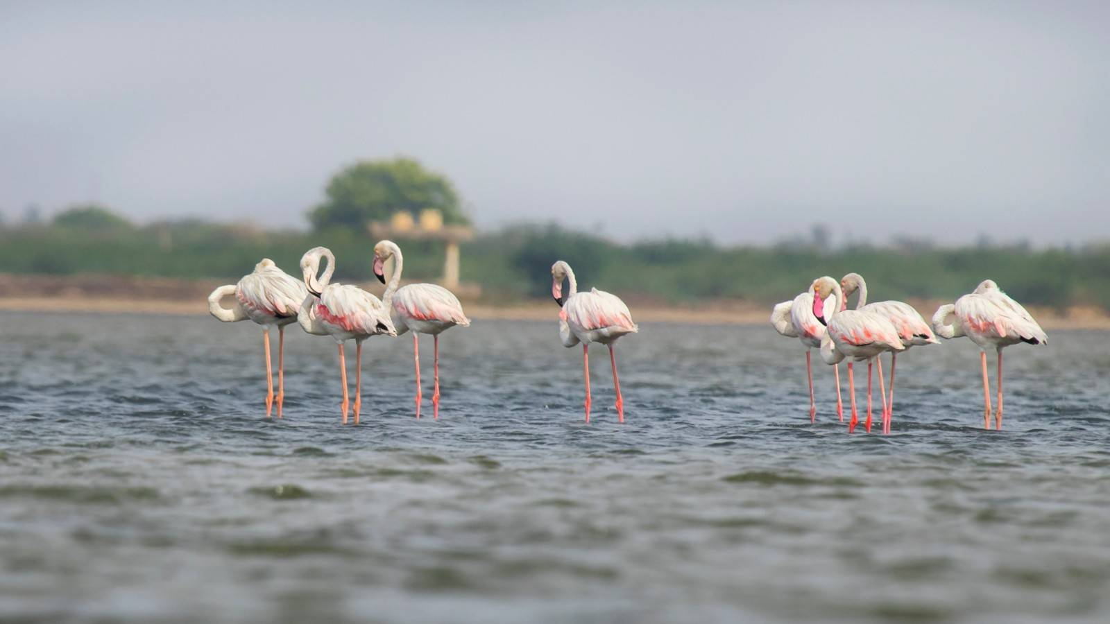 Pulicat Flamingoes,Chennai Water birds Flamingo,Tamilnadu Flamingo birds