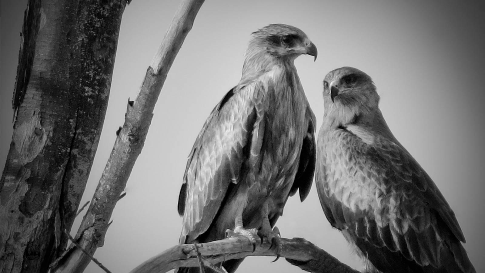 balck kite, rameswaram , pair