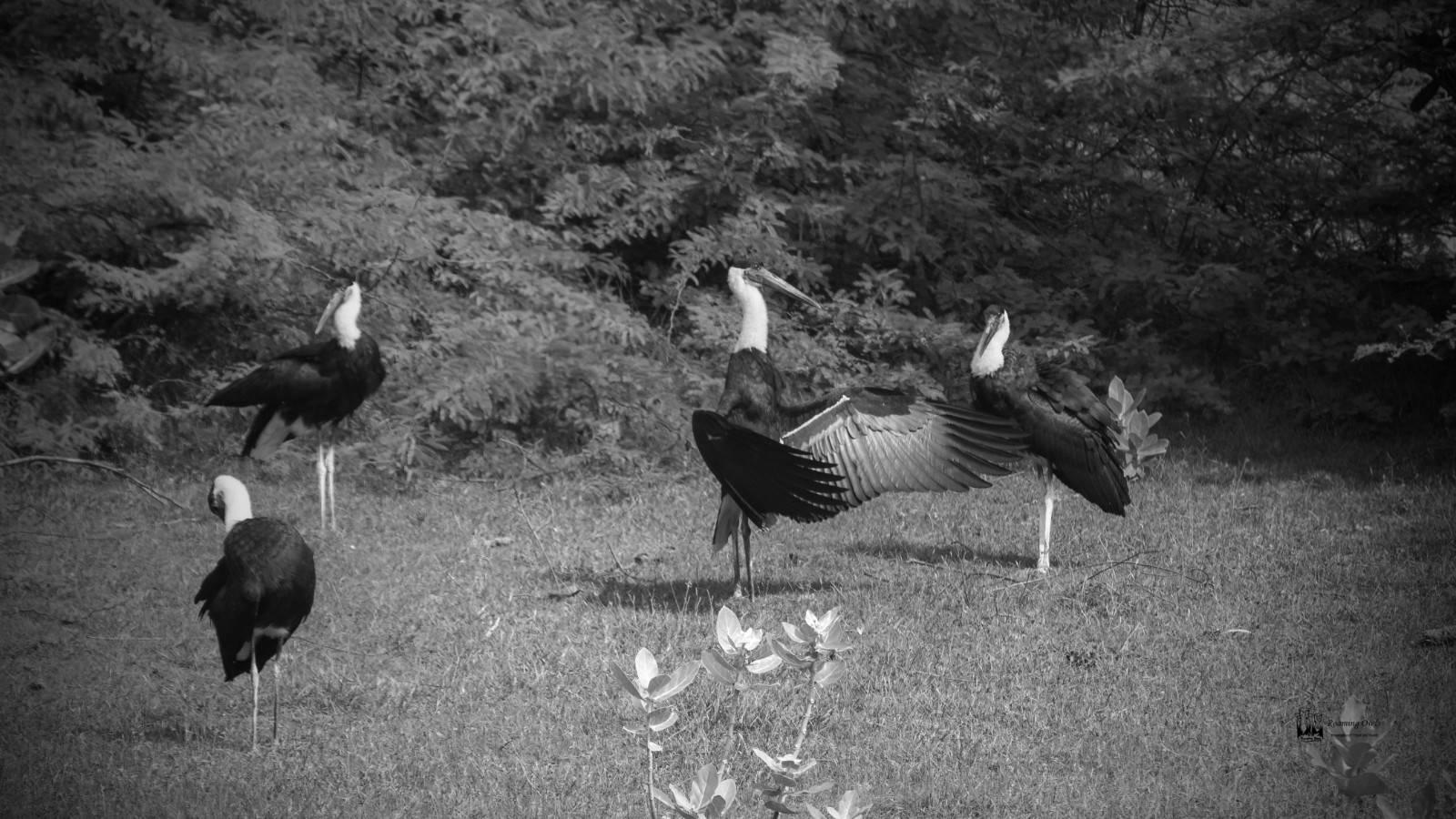 wooly necked storks , rameshwaram