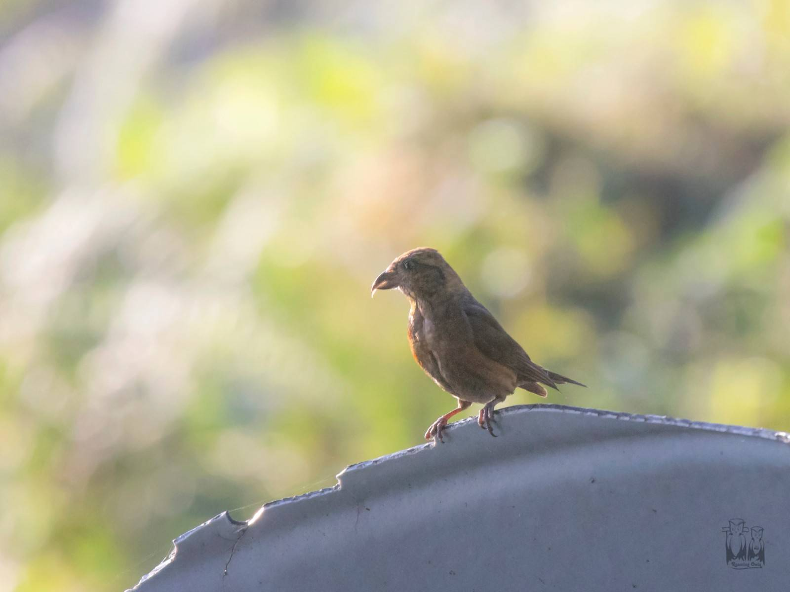 The red crossbill (Loxia curvirostra) , neora valley, himalayas , birding