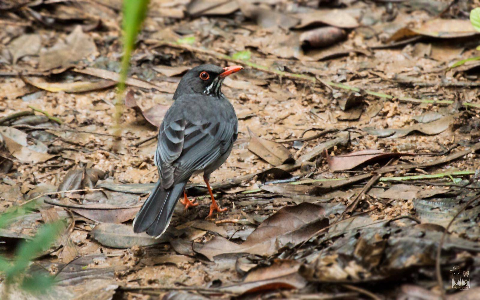 red legged thrush El yunque