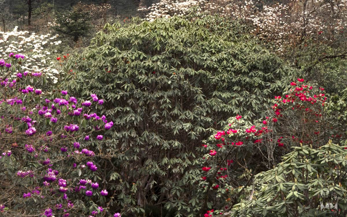 colorful rhododendrons,Rhododendron niveum,Rhododendron wightii,yumthang valley