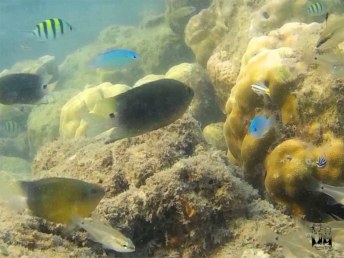 Snorkelling in Andaman and nicobar islands. Colorful fishes under water.