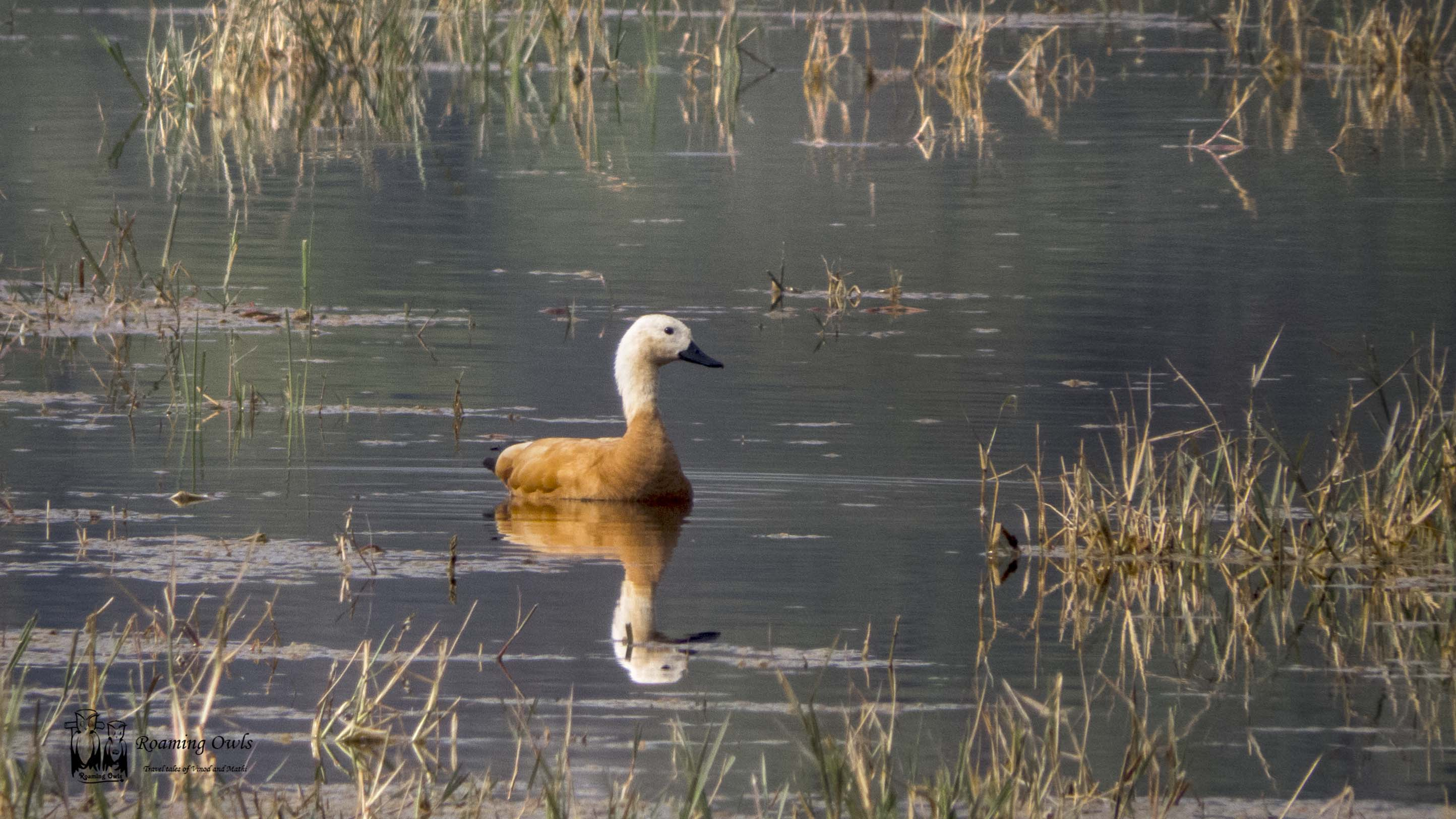 The ruddy shelduck (Tadorna ferruginea), keolodeo national park, bharatpur, india