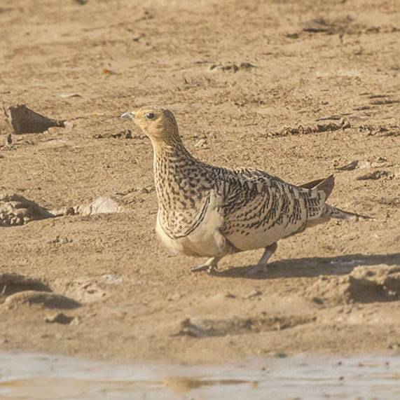 Searching the Sandgrouse